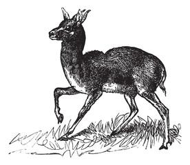 Dorcas Gazelle or Gazella dorcas vintage engraving