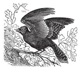 Blue Jay or Cyanocitta cristata vintage engraving