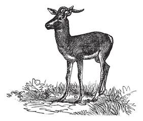 Soemmerring's Gazelle or Nanger soemmerringii vintage engraving