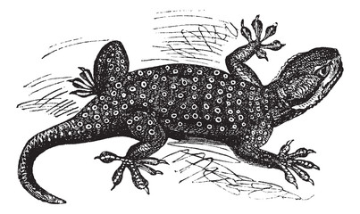 Sinai Fan-fingered Gecko or Ptyodactylus guttatus vintage engrav