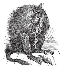 Gelada or Theropithecus gelada vintage engraving