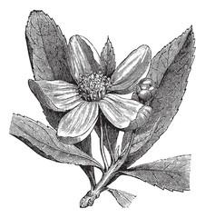 Franklinia or Gordonia pubescens vintage engraving