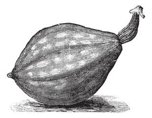 Bottle gourd or Lagenaria siceraria vintage engraving