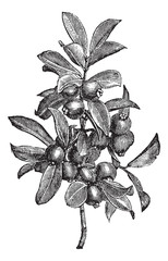 Cattley guava or Psidium littorale vintage engraving