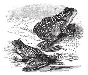 1.Shad frog (Rana halecina) 2. Pickerel frog (Rana palustris) vi
