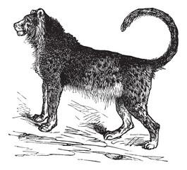 Cheetah (Acinonyx jubatus) vintage engraving