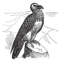 Bearded Vulture (Gypaetus barbatus) or Lammergeyer vintage engra