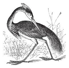 Louisiana Heron (Ardea ludoviciana) or Tricolored Heron (Egretta