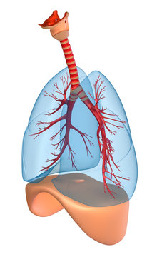 Lungs - pulmonary system. isolated on white