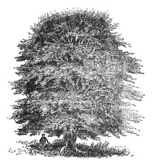 Beech tree vintage engraving