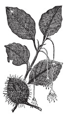 Leaves, flowers and fruit of the beech vintage engraving