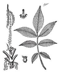 Leaf, base, stem and flower of hickory vintage engraving