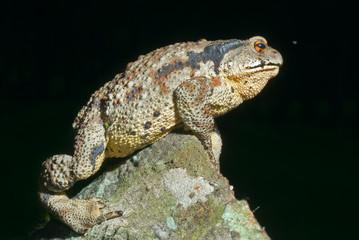Toad (Bufo gargarizans) 34