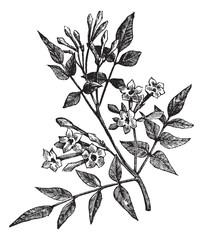 Common Jasmine or Jasminum officinale vintage engraving