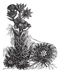 Cobweb houseleek or Sempervivum arachnoideum vintage engraving