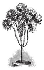 Tree Aeonium or Aeonium arboreum vintage engraving