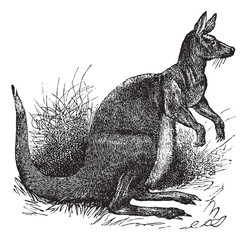 Big Kangaroo vintage engraving
