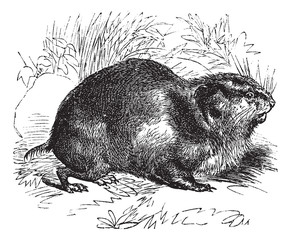 Norway lemming or Norwegian lemming, vintage engraving