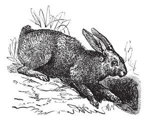 Northern hare (Lepus americanus) or Snowshoe Hare vintage engrav