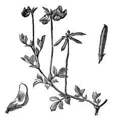 Bird's foot Trefoil or Lotus corniculatus vintage engraving