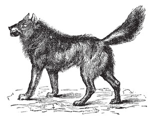 Eurasian Wolf or Canis lupus lupus vintage engraving