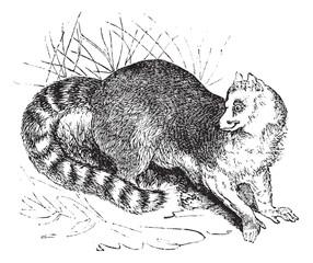 Ring-tailed lemur or Lemur catta vintage engraving
