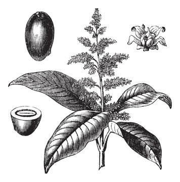 Indian mango or Mangifera indica vintage engraving