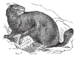 Alpine Marmot or Marmota marmota vintage engraving