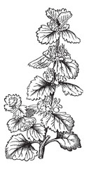 Common Horehound or Marrubium vulgare vintage engraving