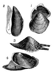 Mollusc. 1.  Nutlet; 2. Mold; 3. From Warty; 4. Anodonta ducks,