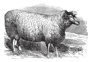 Leicester sheep or Bakewell Leicester, vintage engraving