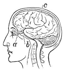 Optic Nerve, vintage engraved illustration