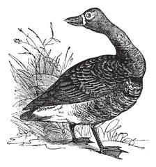 White-fronted goose (Anser Gambelii), vintage engraving