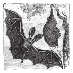 Brown long-eared bat or common long-eared bat, Plecotus auritus,