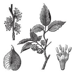 Elm or Ulmus campestris, vintage engraving