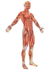 Male Muscular Anatomy Angled Front View