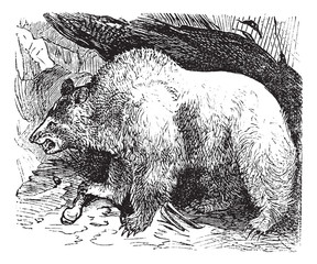 Syria bears (Ursus isabellinus), vintage engraving