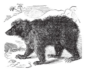 Asian bear (Ursus labiatus), vintage engraving