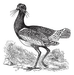 Great Bustard (Otis tarda), vintage engraving