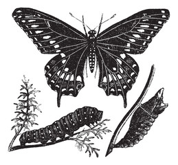 Black Swallowtail Butterfly or Papilio polyxenes, vintage engrav