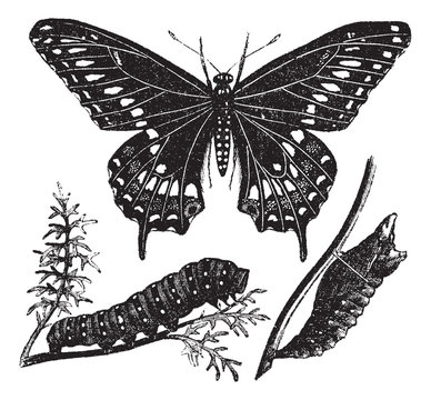 Black Swallowtail Butterfly or Papilio polyxenes, vintage engrav