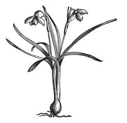 Snowdrop or Galanthus nivalis, vintage engraving