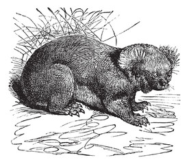 Koala or Phascolarctos cinereus vintage engraving