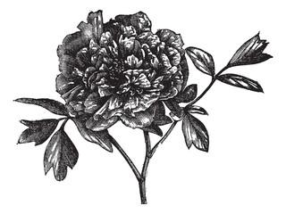 Tree peony (Paeonia Moutan), vintage engraving.