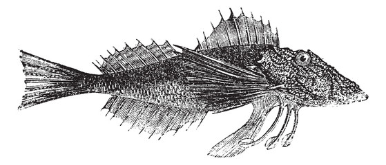 Common Sea Robin or Prionotus carolinus vintage engraving
