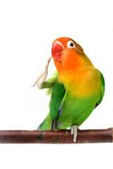 Lovebird Agapornis fischeri (Fischer's Lovebird)