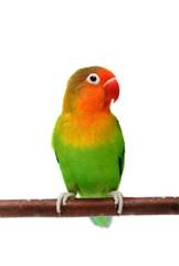 Agapornis fischeri (Fischer's Lovebird)