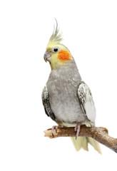 Fond de hotte en verre imprimé Perroquets Cockatiel parakeet 4 years old (female)