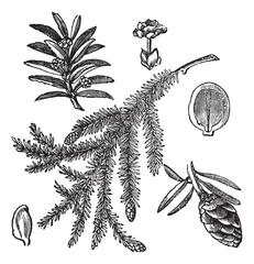 Canadian Hemlock or Tsuga canadensis vintage engraving