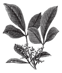 Siphonia elastic or Elastic- gum tree vintage engraving